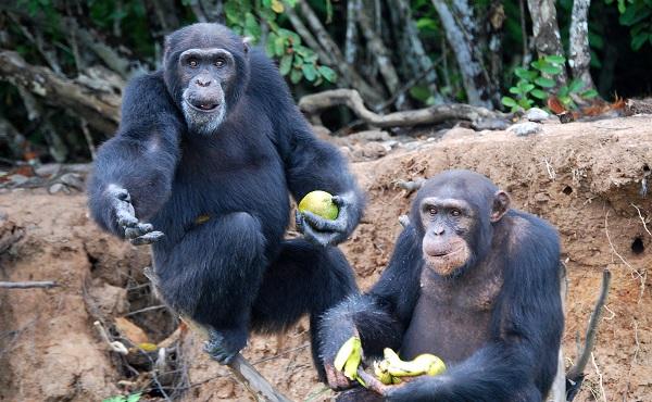 類人猿の最初の洞察実験