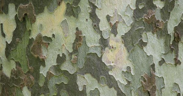 プラタナスの樹皮