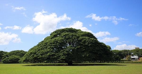 「日立の樹」で知られるモンキーポッド