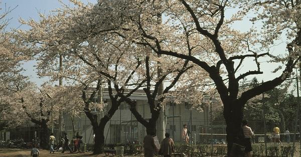 桜などの広葉樹は途中から幹と枝の区別がつかなくなる